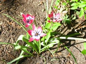 2014 April little tulips