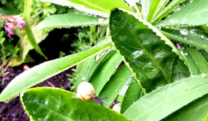 Garden snail on a boulevard daisy leaf