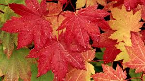 maple-leaves-autumn