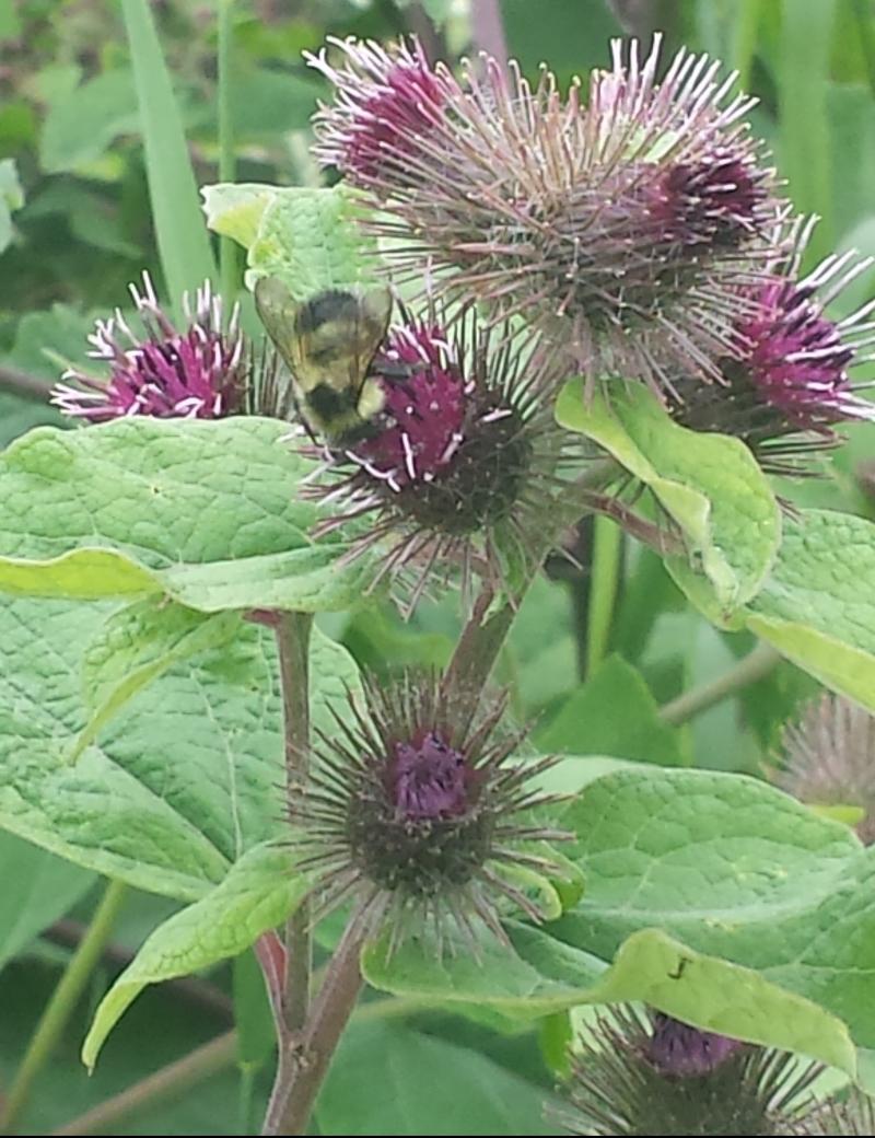 20170723-bee-kispiox-flower.jpg